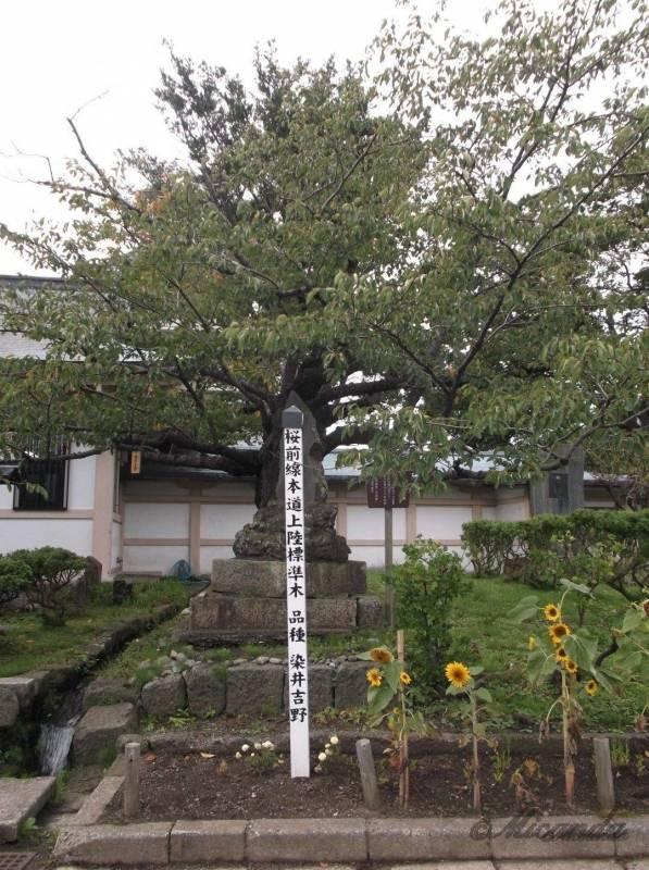 北海道唯一の日本式のお城である松前城にある桜前線北海道上陸標準木