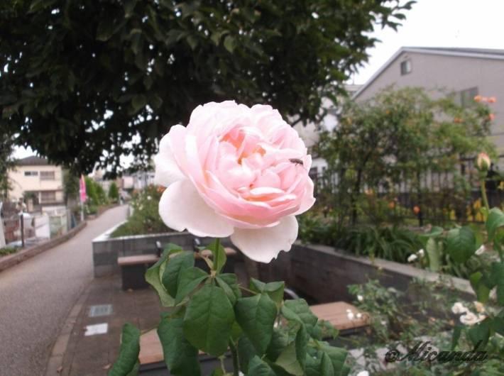 生田緑地ばら苑の最寄駅の向ヶ丘遊園駅からばら苑に向かう途中の五ケ村堀緑地に咲いているバラ