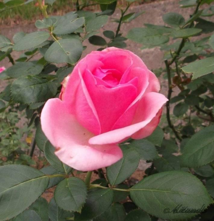 生田緑地ばら苑のピンク色のバラ