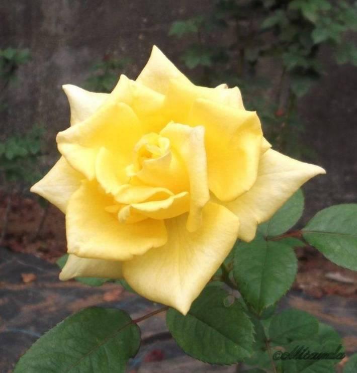 生田緑地ばら苑の黄色のバラ
