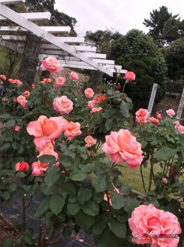 生田緑地ばら苑のバラたち