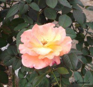 生田緑地ばら苑のピンクと黄色のグラデーションが美しいバラ