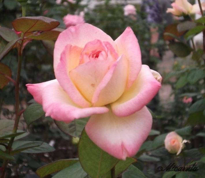 生田緑地ばら苑のダイアナ・プリンセス・オブ・ウェールズ