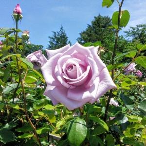 生田緑地ばら苑の紫色のバラ「ブルームーン」