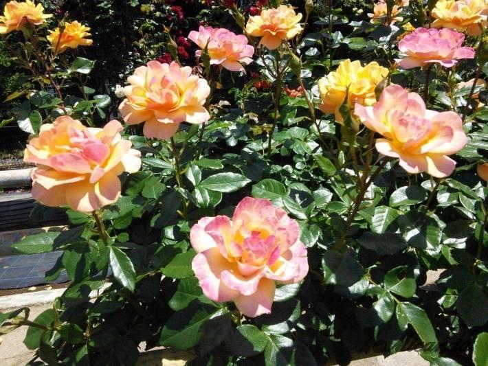 生田緑地ばら苑の黄色とピンク色が混ざったバラ