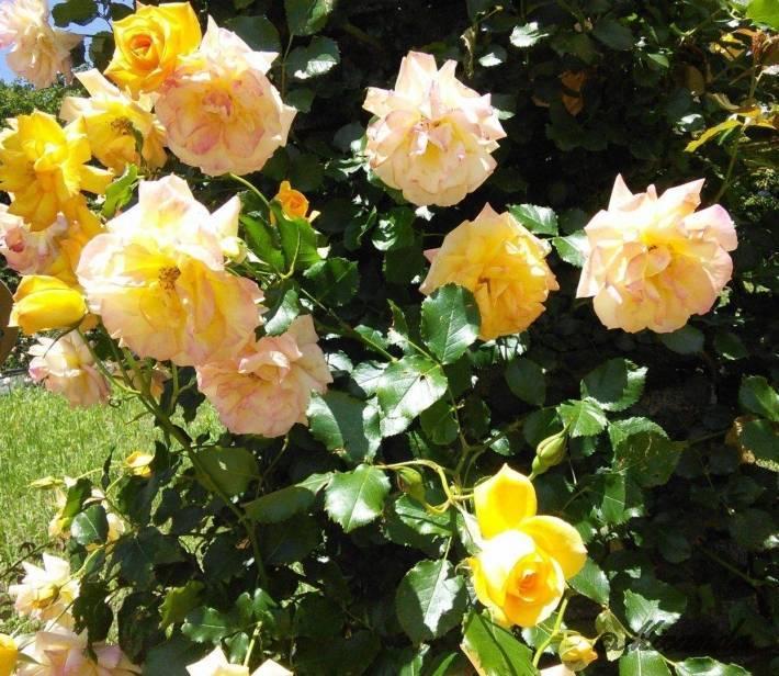 生田緑地ばら苑の黄色いバラ