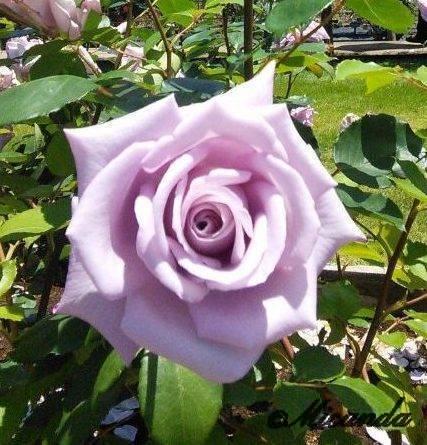 生田緑地ばら苑のピンクのバラ