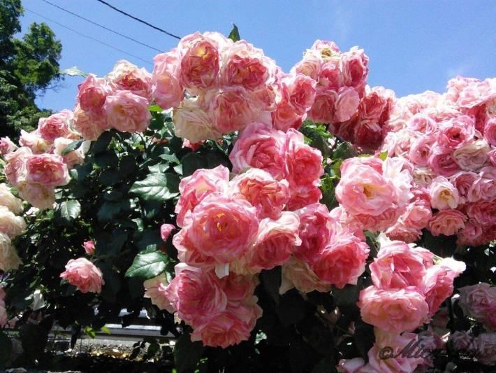 生田緑地ばら苑の淡いピンク色のバラ