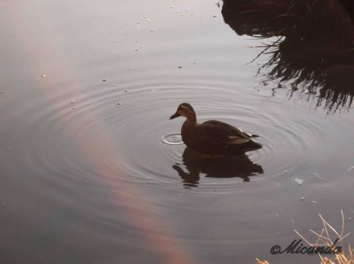 清澄庭園の大泉水にいた鴨