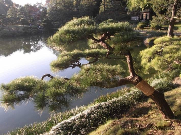 清澄庭園の松の木