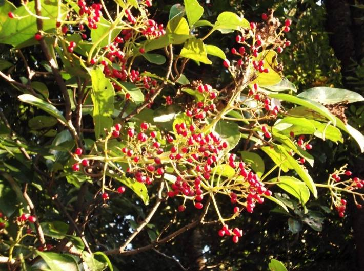 清澄庭園に実をつけた木