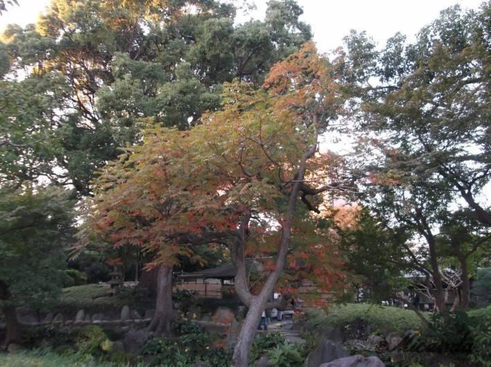 清澄庭園の紅葉した木