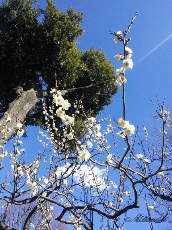 梅が丘駅にある羽根木公園の白梅