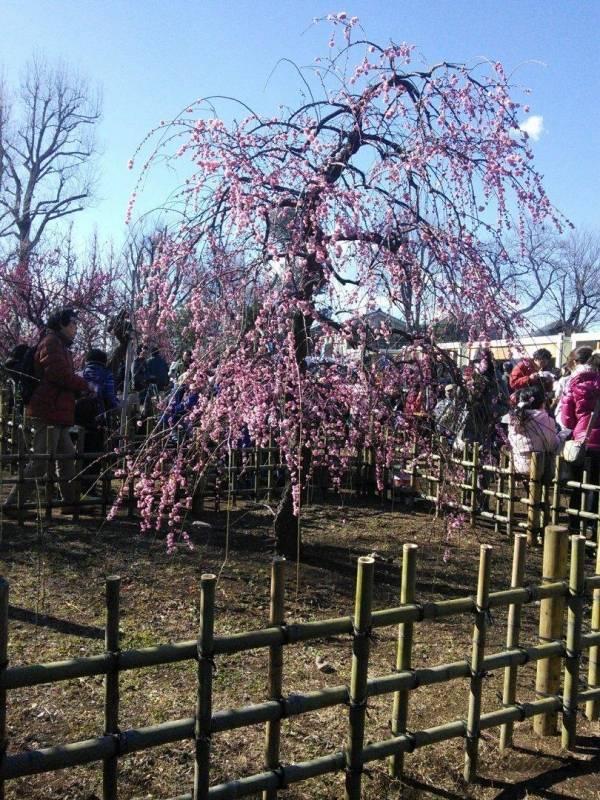 梅が丘駅にある羽根木公園の梅の花2