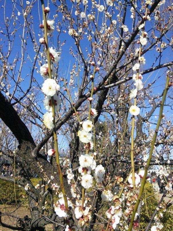 梅が丘駅にある羽根木公園の白梅2