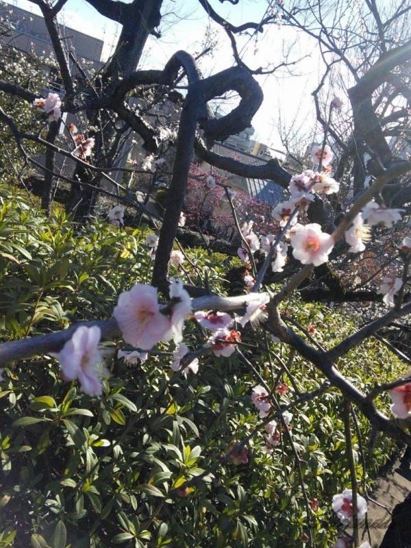 梅が丘駅にある羽根木公園の梅の花3