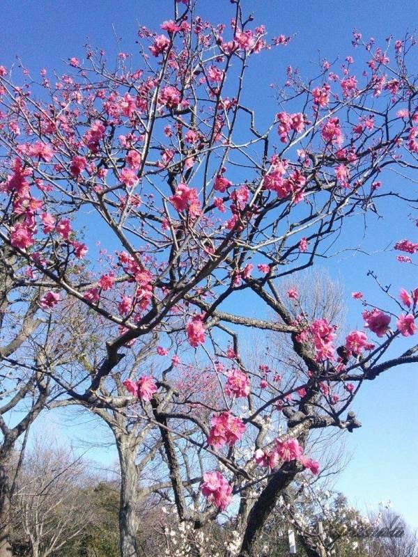 梅が丘駅にある羽根木公園の梅の花