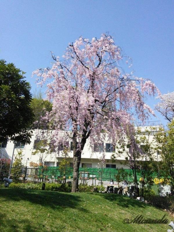 ミッドタウンの桜2
