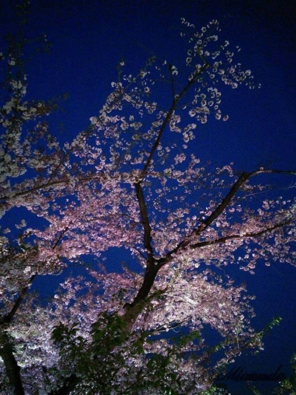 ミッドタウンの夜桜1