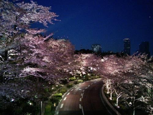 ミッドタウンの夜桜2